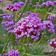 Verbena bonariensis geeft hoogte in de tuin.Een laaggroeiende vorm is Verbena bonariensis 'Lollipop' ( H.60 cm). Verzorging in de winter. Wanneer snoeien..