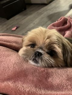 Cute Baby Dogs, Cute Little Puppies, Cute Dogs And Puppies, Cute Little Animals, Cute Funny Animals, Doggies, Pet Dogs, Pets, Perro Shih Tzu