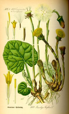 Huflattich - Kostbare Natur