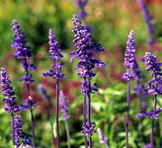 Salvias, also called sages, are easy to grow, bloom abundantly, and great looking in the landscape. Use this guide to find the best types of salvia for your garden.