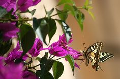 tranquillità per gli uomini ma anche per gli insetti. Le farfalle si aggirano indisturbate tra i fiori della bougainville
