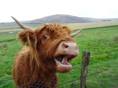 They're super happy, and they love to have fun. 19 Cute AF Photos That Prove That Fluffy Highland Cows = Dogs Scottish Highland Cow, Highland Cattle, Scottish Highlands, Fluffy Cows, Fluffy Animals, Cow Wallpaper, Farm Animals, Cute Animals, Wild Animals