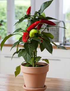 Chilipaprika Hot Banana - Viherpeukalot