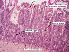 small intestine histology labeled