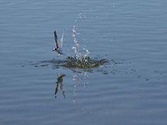 try again! (robra shotography []O]) Tags: sardegna reflection fishing sardinia seagull hunting splash gabbiano plunge riflesso gabbianoroseo chroicocephalusgenei