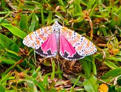 Bella Moth | Phillip's Natural World