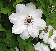 Henryi Clematis Vine - Pure White - Pot for sale online Clematis Care, Clematis Trellis, White Clematis, Clematis Plants, Clematis Varieties, Clematis Flower, White Flowers, Beautiful Flowers, Vines