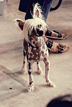 @ Best Pictures of dogs 05:  Hairless Chinese Crested dog