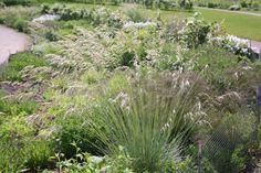 Buy blue oat grass Helictotrichon sempervirens