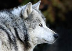 Canis lupus...They refer to Lupus as the disease is wolf's clothing because you can't always tell from looking at someone that they are sick.