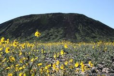 Amboy Crater Sunflowers
