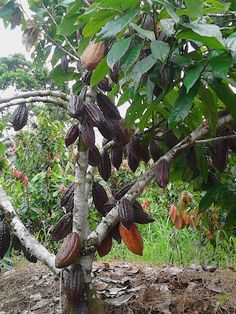 Chocolate Tree, Cacao Chocolate, Fruit Flowers, Fruit Trees, Farm Gardens, Floral Arrangements, Amanda, Nature, Plants