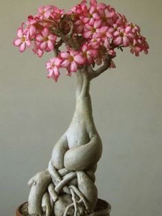 adenium obesum Talk about form and texture... the flowers are very cool, but…