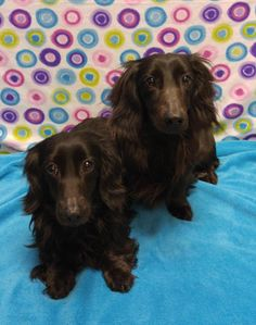 Zack and Zoey is an adoptable Dachshund searching for a forever family near Pontiac, IL. Use Petfinder to find adoptable pets in your area.