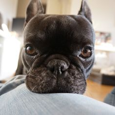 """Look Into My Eyes""... ""Look Into My Eyes""....""you are now going to give me anything I want"", so typical, hypnotizing French Bulldog."