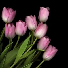 SOFT PASTEL PINK... TULIPS by Magda Indigo - Photo 61342043 - 500px