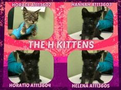 H KITTENS_Super Urgent Shelter Cats These animals are either high risk, injured or have previously appeared on the To Be Destroyed list and survived. They are in danger of being on the list again or destroyed without any further notice. Crazy Cat Lady, Crazy Cats, Super Cute Animals, Adorable Animals, Foster Cat, Beautiful Kittens, Feral Cats, Cat Memes, Pet Adoption