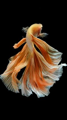Some interesting betta fish facts. Betta fish are small fresh water fish that are part of the Osphronemidae family. Betta fish come in about 65 species too! Colorful Fish, Tropical Fish, Beautiful Creatures, Animals Beautiful, Carpe Koi, Beta Fish, Fish Fish, Siamese Fighting Fish, Paludarium