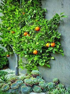 orange tree - love how it is trained along the wall