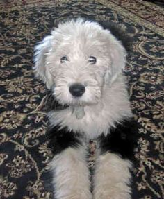 Old English Sheepdogs - 14 - by Tracy Twite