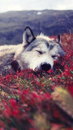 # loup-garou Kimi Stemmle - cute and funny animals - Hunde Nature Animals, Animals And Pets, Baby Animals, Funny Animals, Cute Animals, Wild Animals, Strange Animals, Wildlife Nature, Forest Animals