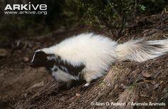 Hooded Skunk | Hooded skunk (Mephitis macroura)