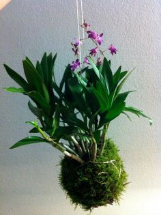 1000 images about kokedama on pinterest orchids image search and plants. Black Bedroom Furniture Sets. Home Design Ideas