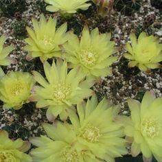 Gymnocalycium andreae P 213