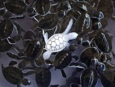 albino white baby turtle