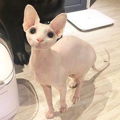 sphynx kittens New post on cutekittensarefun Pretty Cats, Beautiful Cats, Animals Beautiful, I Love Cats, Crazy Cats, Cool Cats, Cute Little Animals, Cute Funny Animals, Cute Hairless Cat