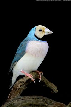 Gouldian Finch (Erythrura gouldiae) Dominant Blue Back