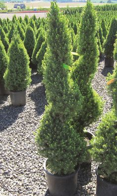 A unique looking spiral-shaped Alberta spruce will make your backyard stand-out from the crowd.