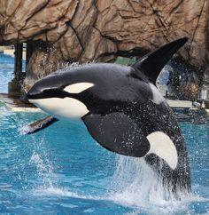 Orcas Seaworld, Seaworld Orlando, Ocean Creatures, Killer Whales, Sea World, Dolphins, Cute Animals, Sharks, Orcas