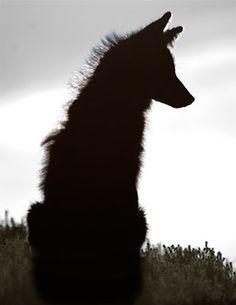 coyote silouette - Google Search