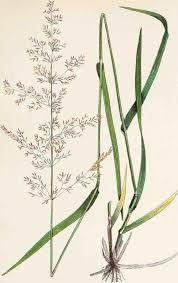Agrostis capillaris - rödven