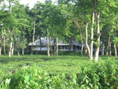 Burra Bungalow, Muttuck Tea Estate (as viewed from the highway) Dibrugarh District, Assam. Photo courtesy: Amini Hazarika