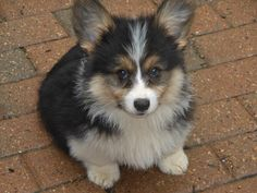 Fluffiest of all fluffy corgis