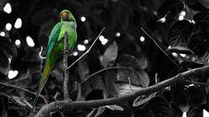 Parakeet by ajxthomas via http://ift.tt/2d3g66w