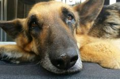North Carolina police are investigating a case of abuse for a former police K9, who was left starving in a backyard, chained to a fence.