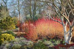 Dans les jardins de Bressingham, en Angleterre, le cornouiller orangé 'Cornus sanguinea'