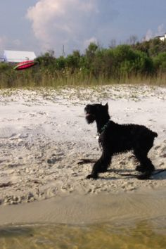 Sadie, Giant Schnauzer Standard Schnauzer, Giant Schnauzer, Schnauzers, Dog Best Friend, Best Friends, Gentle Giant, Dogs Of The World, Sadie, Puppy Love