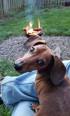 Dachshund Puppies, Dachshund Love, Weiner Dogs, Sausage Dogs, Cutest Dogs, Beautiful Dogs, Funny Moments, In This Moment, Pets