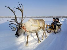 Go on a Reindeer-Drawn Sleigh Ride Safari, Lapland, Finland Photograph courtesy Visit Finland For centuries, the indigenous Sami people have traveled with their herds of reindeer across the Sápmi region (commonly referred to as Lapland), which comprises… Real Reindeer, Reindeer And Sleigh, Lapland Holidays, Winter Holidays, Safari, Lapland Finland, Eagles, Arctic Circle, Winter Travel