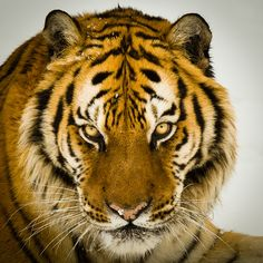 I want this tattooed on my pointer finger but as a white tiger w/ white ink -Catie #tiger #tigerlovers #tigerfans