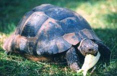 Suchozemské želvičky - Co želvy jí - Co želvy jí Turtle, Animals, Turtles, Animales, Animaux, Tortoise, Animal, Animais