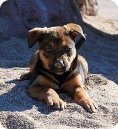 Phoenix, AZ - Bluetick Coonhound/German Shepherd Dog Mix. Meet Jingle a Puppy for Adoption.
