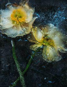 Frozen flower, from Aeternae, 2016
