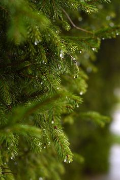 Raindrops dripping off of pine trees Rainy Day Photography, Nature Photography Flowers, Rain Photography, Still Life Photography, Landscape Photography, Green Leaf Wallpaper, Wallpaper Nature Flowers, Beautiful Nature Wallpaper, Rainy Wallpaper