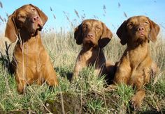 The wire-haired Vizsla