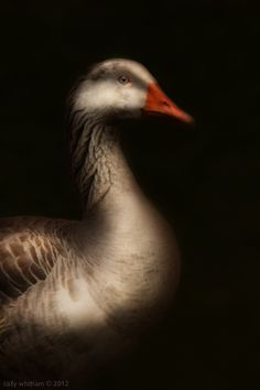 Geese by Cally Whitham (This is a photo. I thought it was a painting.  Wow!)